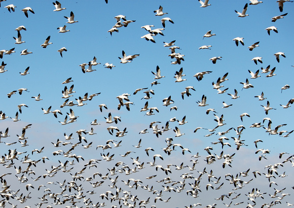 Snowgeese Taking Flight